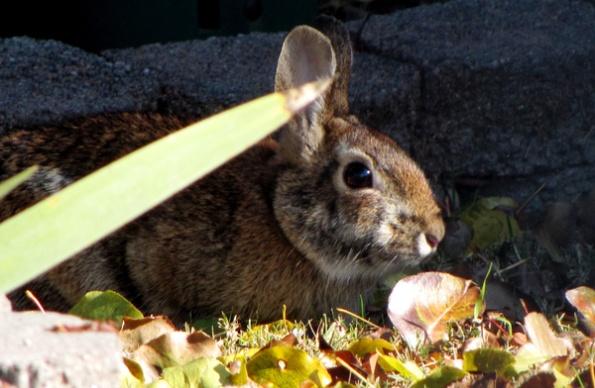 Rabbit Nov 27
