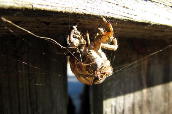 December 4 Cicada Molt