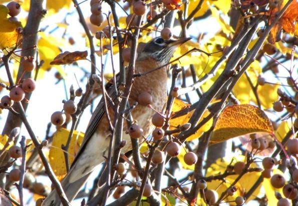 December 4 Robin