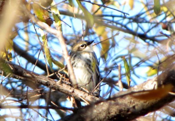 December 4 Warbler