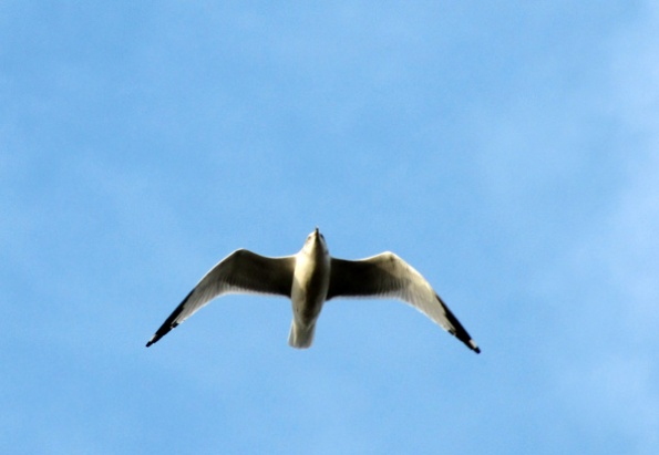 Gull Dec 10