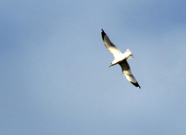 Gull Dec 9