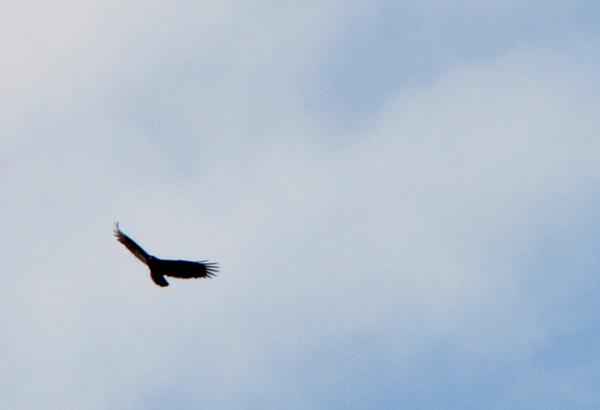 Vulture Dec 10