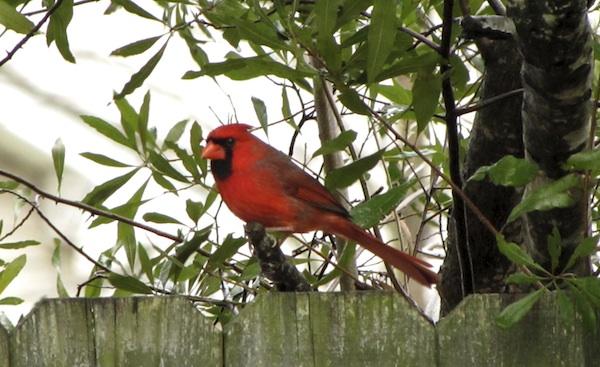 Cardinal Jan 17