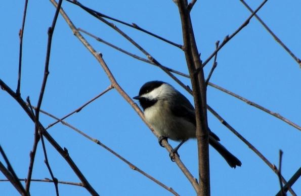 Chickadee Jan 19