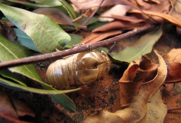 Cicada Molt Jan 7