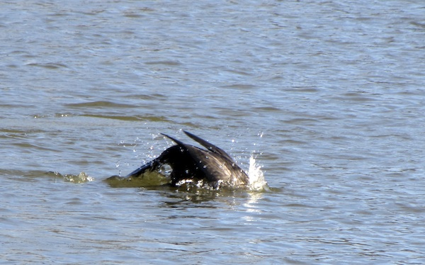 Cormorant Jan 10