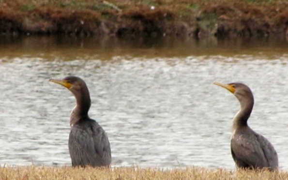 Cormorants Jan 15