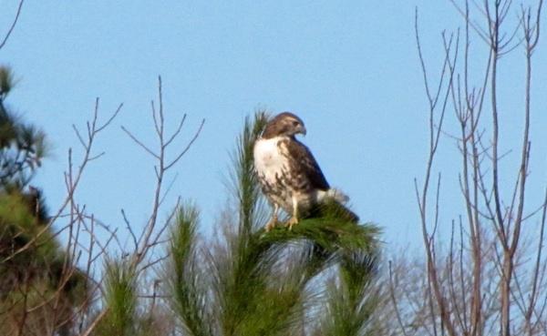 Hawk Jan 19