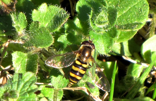 Hoverfly Jan 20