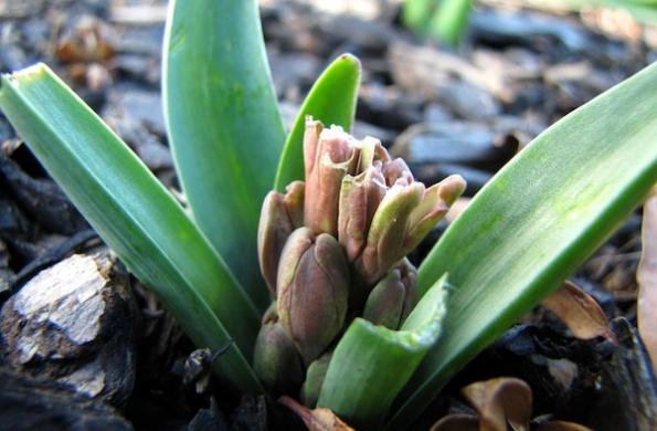 Hyacinth Jan 7