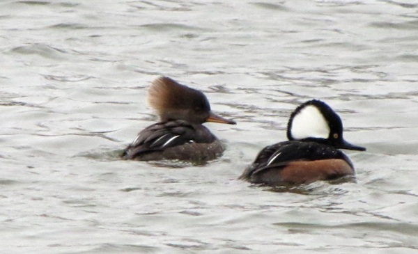 Mergansers Jan 15
