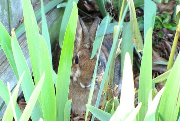 Rabbit Jan 7