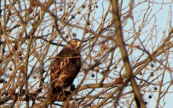 Hawk Jan 18