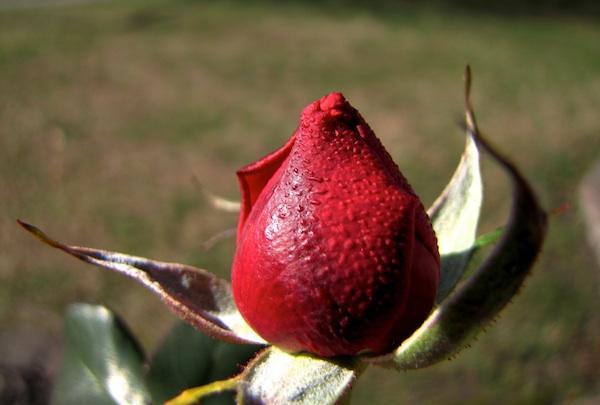 Rose Jan 20