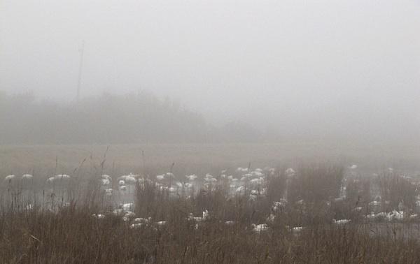 Snow Geese Jan 12