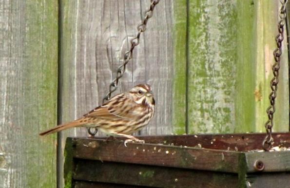 Sparrow Jan 17