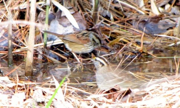 Sparrows Jan 19