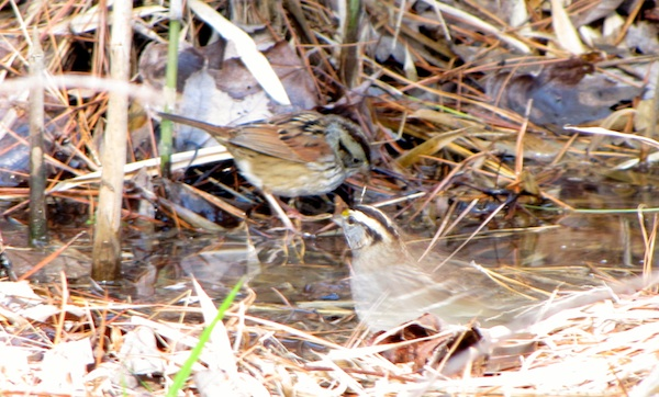 Sparrows Jan 19