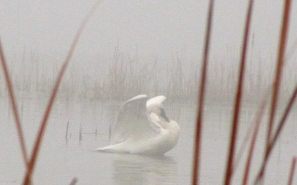 Swan Jan 12