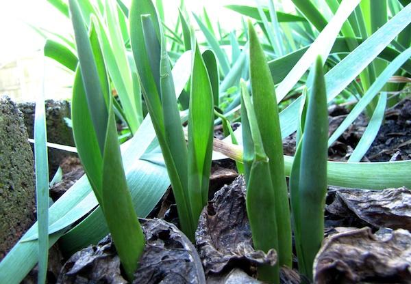 Tulips Jan 20