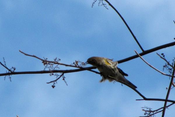 Warbler Jan 30
