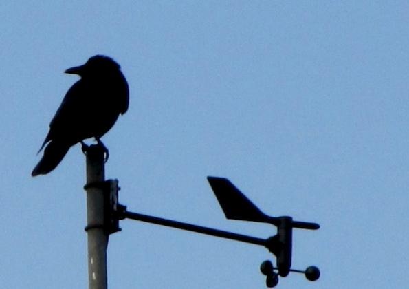 Crow Feb 3