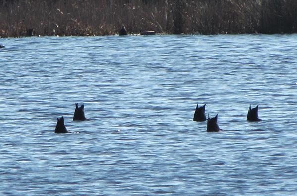 Ducks Feb 6