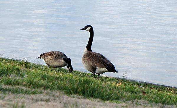 Goose Feb 5