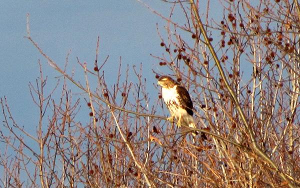 Hawk Feb 5