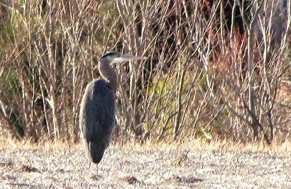 Heron Feb 5