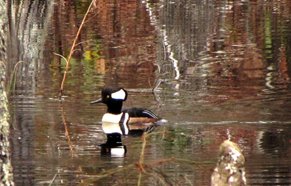 Merganser Feb 22
