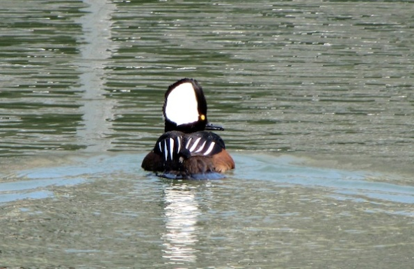 Merganser Feb 3