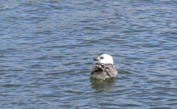 Seagull Feb 3
