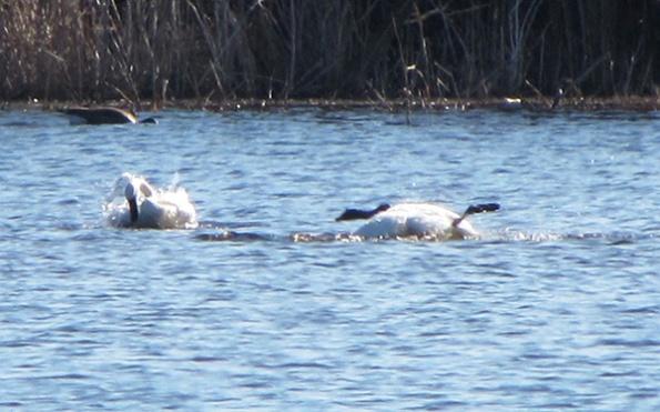Swans Feb 6