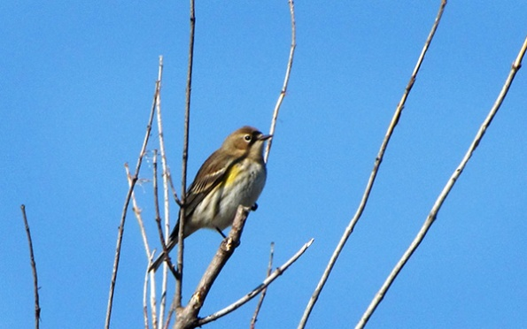 Warbler Feb 6