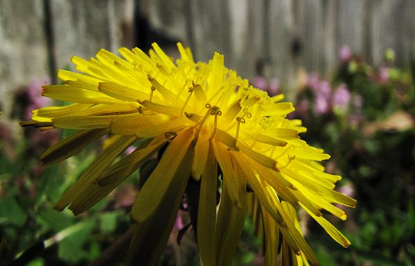 Dandelion March 16