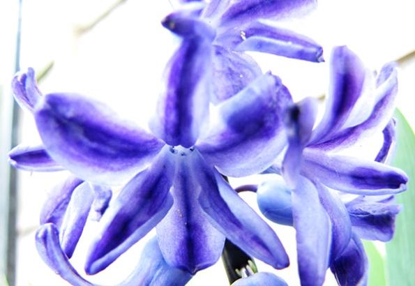 Hyacinths March 16