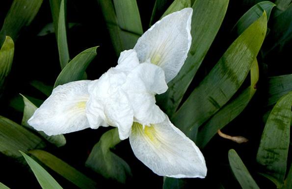 Iris March 30