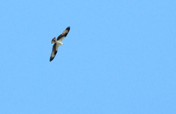 Osprey March 30