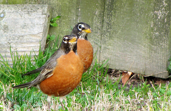 Robins March 30