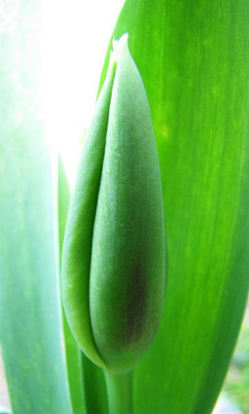 Tulip March 30