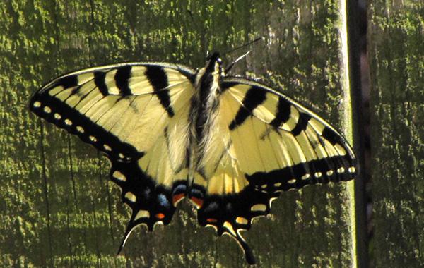 Butterfly April 8