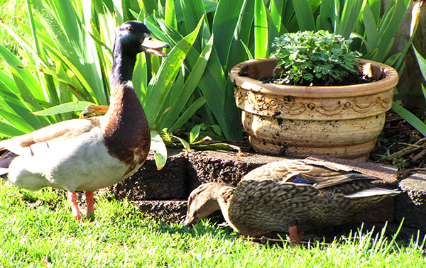 Duck April 10