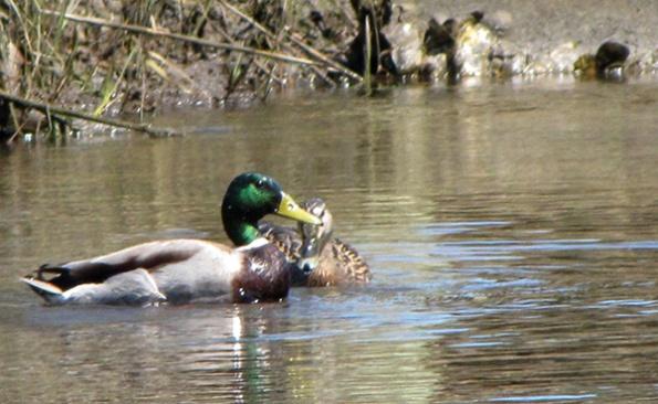 Ducks April 7