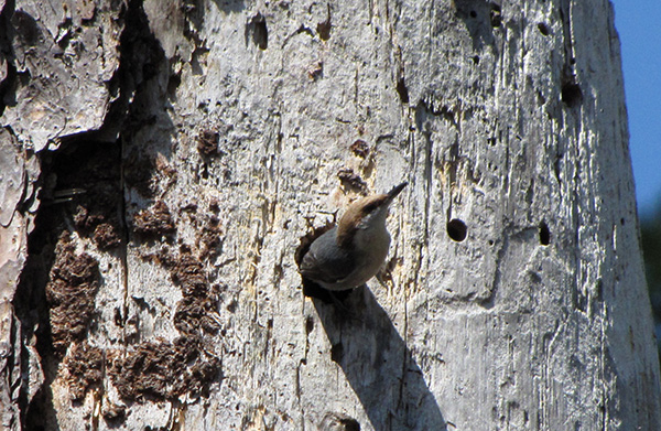 Nuthatch April 7