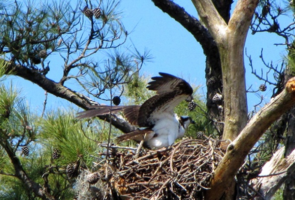 Osprey April 7