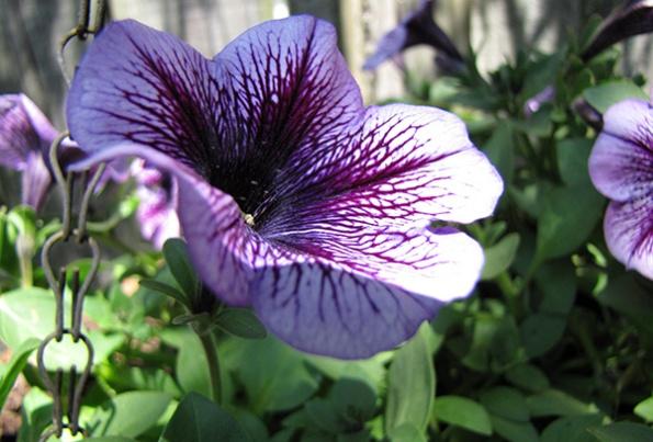 Petunia April 27