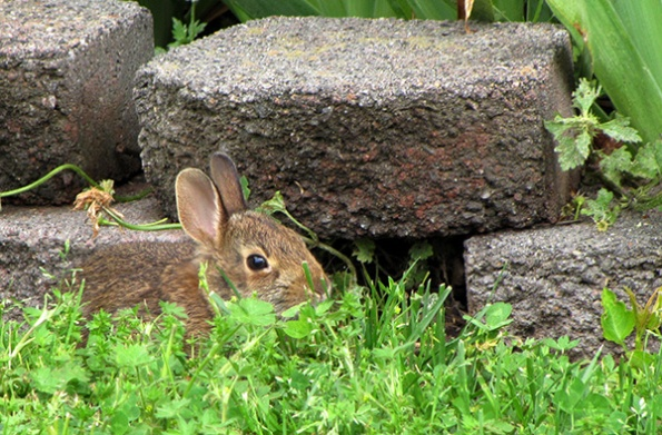 Rabbit April 20
