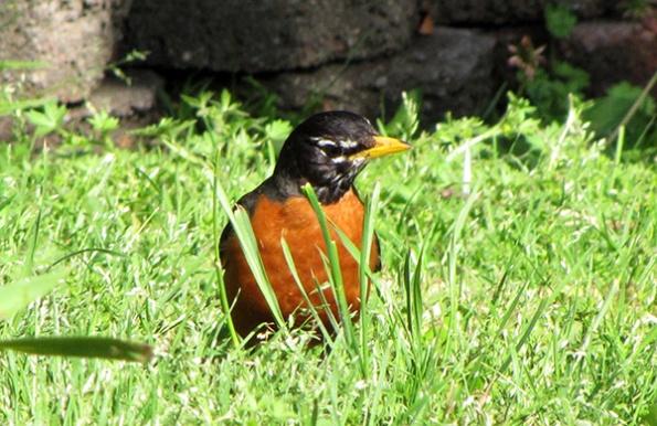 Robin April 23